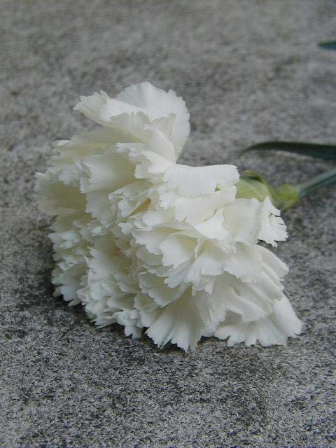 flower-white-rose.jpg