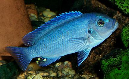 Cobalt Blue Cichlid  : Maylandia callainos