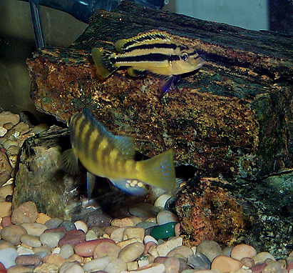 The Aquarium Environment Selecting Compatible Cichlids