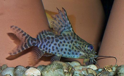 celebrity hollywood cool: Freshwater Upside Down Catfish