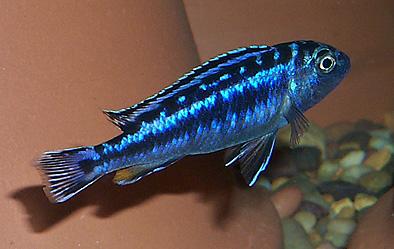 Electric blue johanni cichlid female